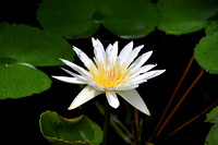 horizontal image white maui water lily flower and lily pads