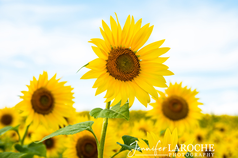 horizontal image close up sunflowers with light blue sky at colby farm