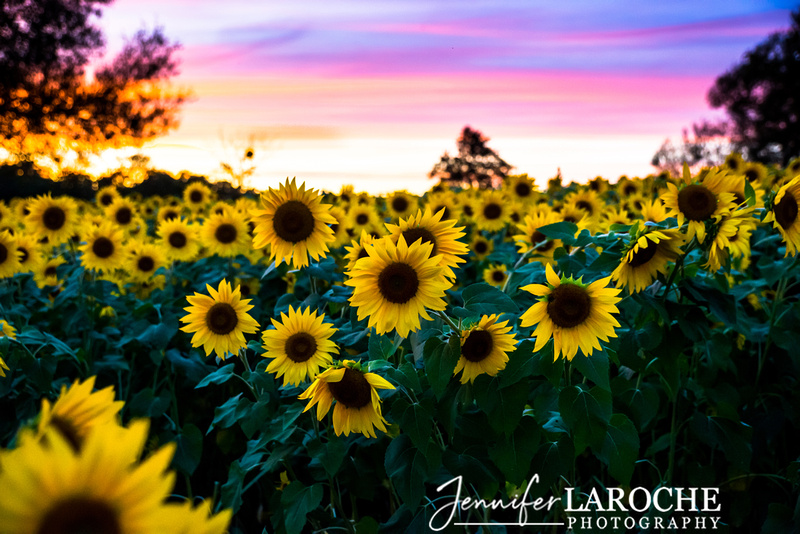 colby farms sunflower field at sunset