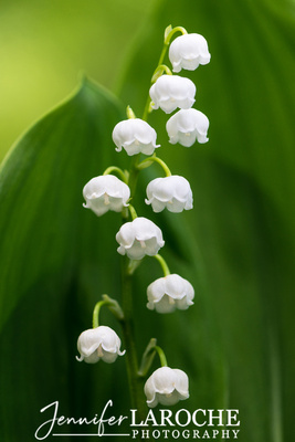 lvertical flower portrait lily of the valley on green