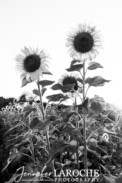 fine art vertical black and white image sunflowers in a sunflower field