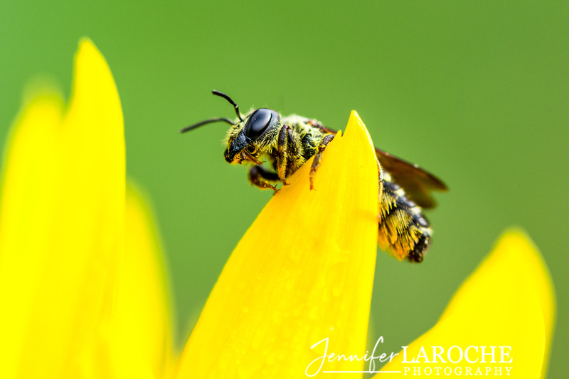 Yellow Jacket Bee Close Up