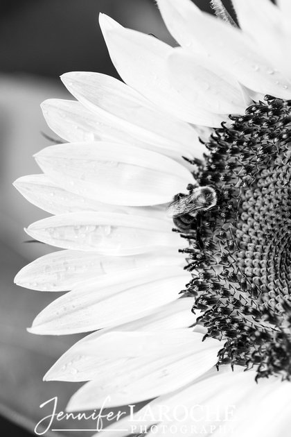 Black and Whtie Sunflower Portrait with Bumble Bee