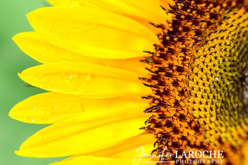 Sunflower Corolla Petals