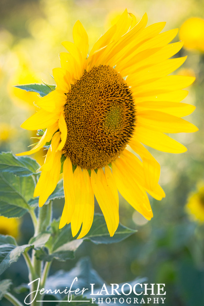 Vertical Sunflower Picture