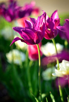 vertical photo purple lily flowered tulips