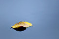 Yellow Leaf Floating in Water